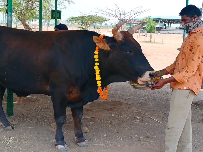 Mahadev celebrates a holiday at one of Animal Rahat's sanctuaries.