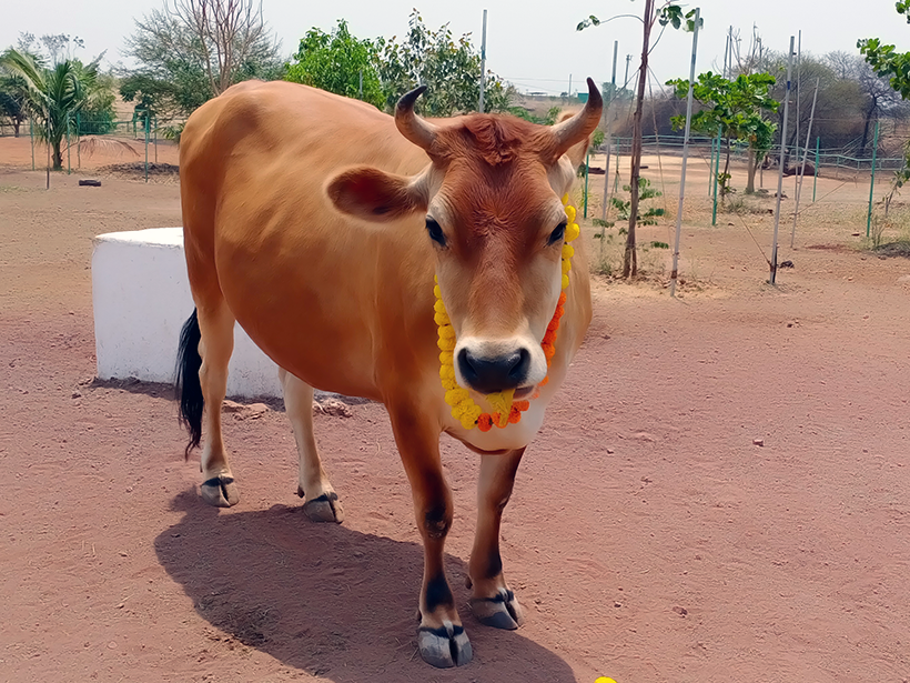 Sheila celebrates a holiday at one of Animal Rahat's sanctuaries.