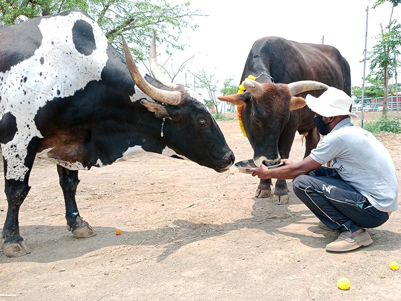 Nandi and Mahadev celebrates a holiday at one of Animal Rahat's sanctuaries.
