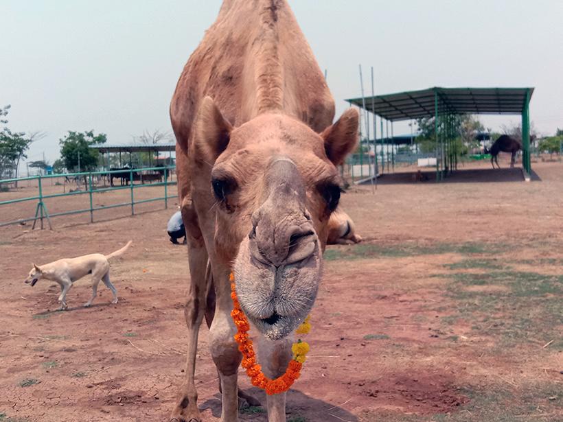 Samarth celebrates a holiday at one of Animal Rahat's sanctuaries.