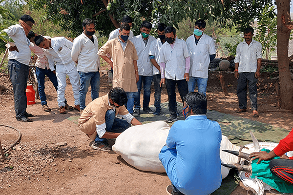 Animal Rahat takes students into the local villages to demonstrate painless castration techniques on bulls.