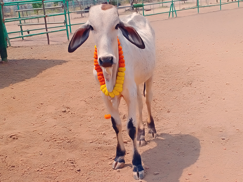 Vitthal celebrates a holiday at one of Animal Rahat's sanctuaries.