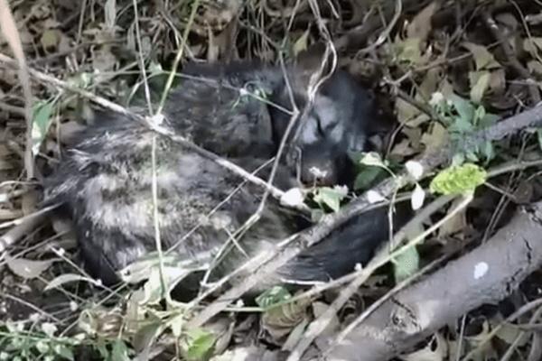 A civet cat, struggling to breathe, lies down in a field.