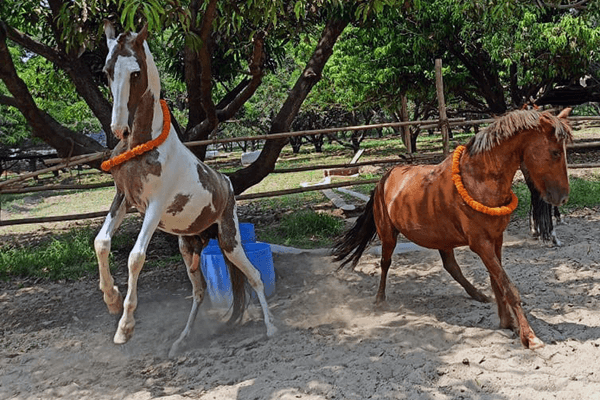 Newly rescued horse Badal jumps for joy after being welcomed to Animal Rahat's new sanctuary outside Delhi.