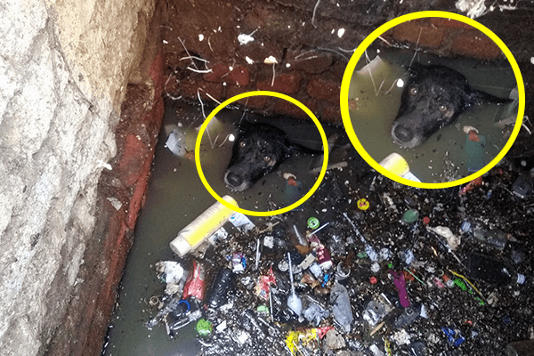 A dog stuck in a drainage chamber treads water to keep his head above the surface.