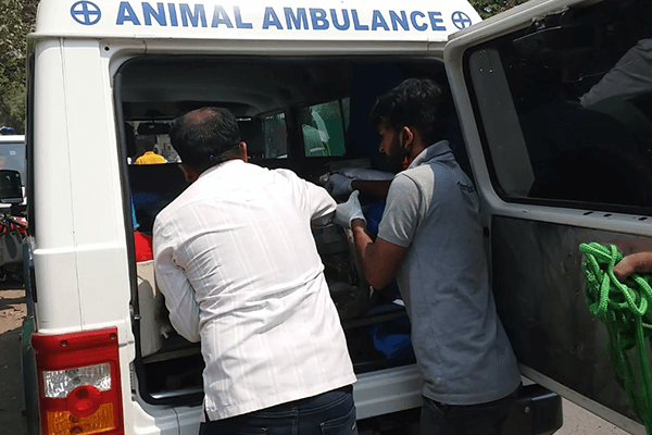 Animal Rahat puts the rescued dog in the back of an ambulance and readies him to travel to its Solapur office for an examination and recovery.