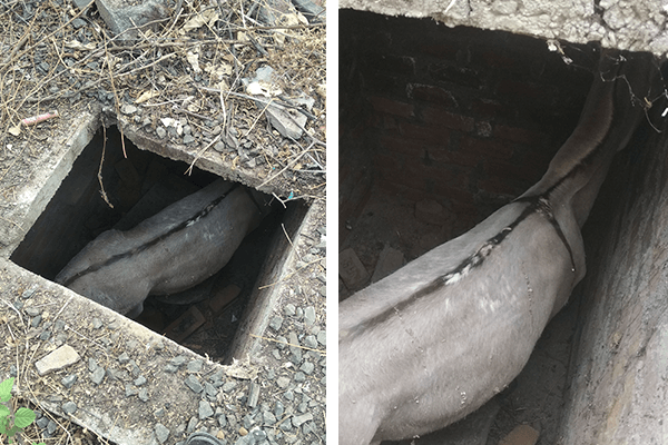 A donkey fell into an 8-foot-deep tank with a very narrow opening, and pulling her out was going to be a challenge.
