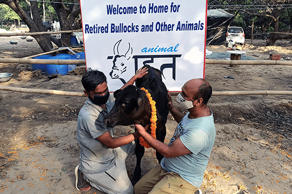 Bull calf Raja is given an Animal Rahat welcome to his new home—its sanctuary outside Delhi.