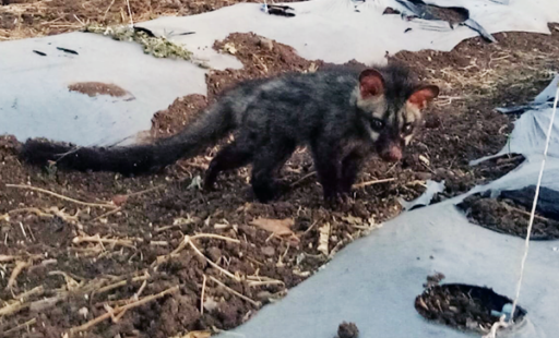 Civet Cat's Raspy Breathing and Red Nose Lead to Expert Treatment