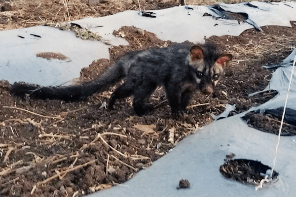 The civet cat is released back into the field after receiving much-needed respiratory treatments.