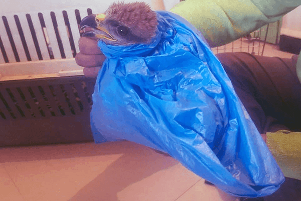 Animal Rahat's vet wrapped the kite in a bag, dipping her into medicated solution to rid her of lice.