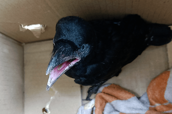 A baby crow waits as Animal Rahat helps find his or her family.