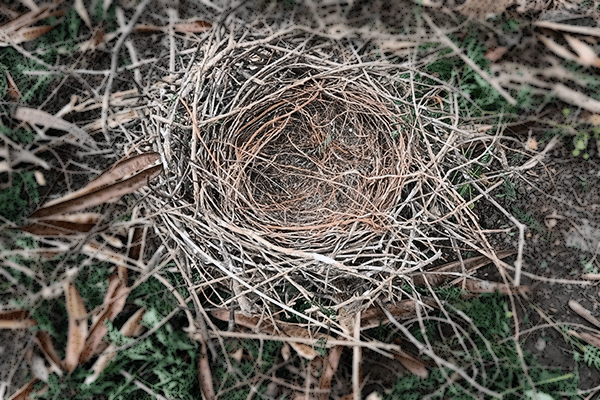 The crows' nest was still in good condition after falling from the tree.