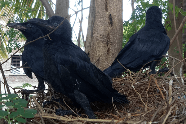 Animal Rahat's rescue worker places the three babies into their nest, and the crows wait for their parents to return to them.