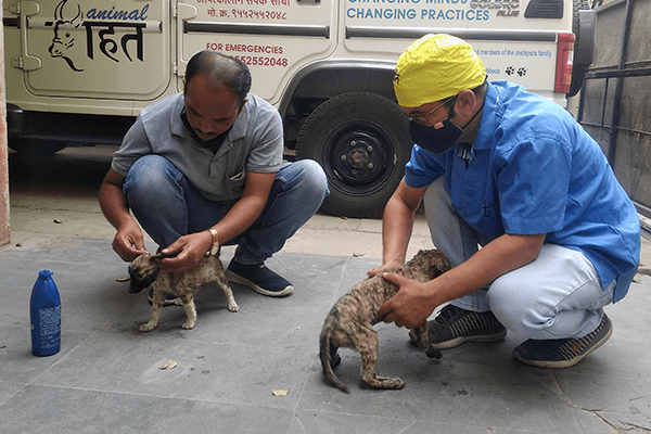 Animal Rahat's rescue workers gently massage oil into the puppy's skin to remove the tar.