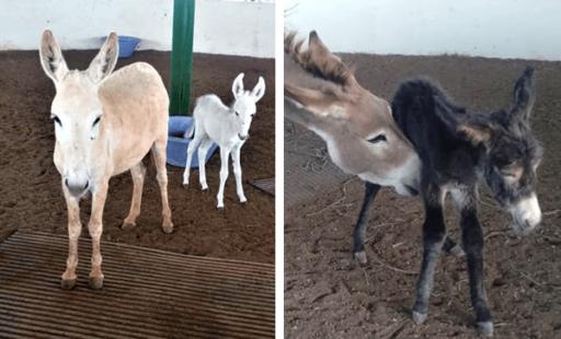 Donkey Foals Join Animal Rahat's Happy Family
