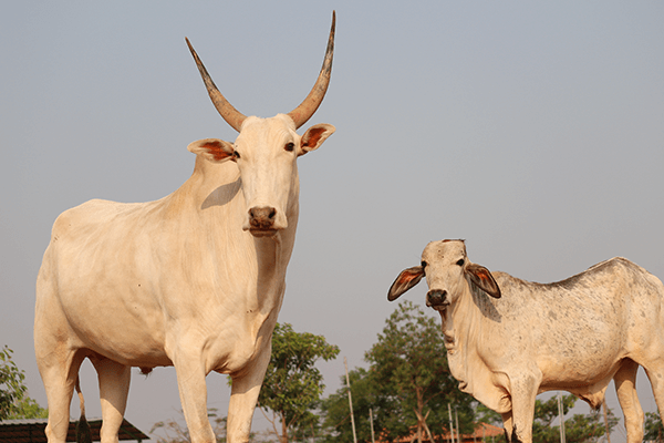 Hiren and Vitthal stand together at Animal Rahat's sanctuary in Sangli.