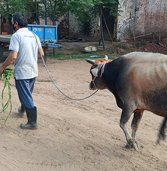 Animal Rahat staff lead the bull to their nearby sanctuary.