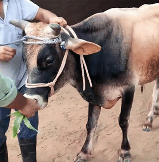 This abandoned bull was hanging around a brick kiln when an Animal Rahat veterinarian spotted him.