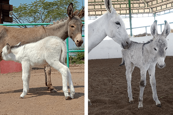 The image on the left shows donkey foal Daya and her mom, Anika. The image on the right shows donkey foal Naina and her mom, Maina.