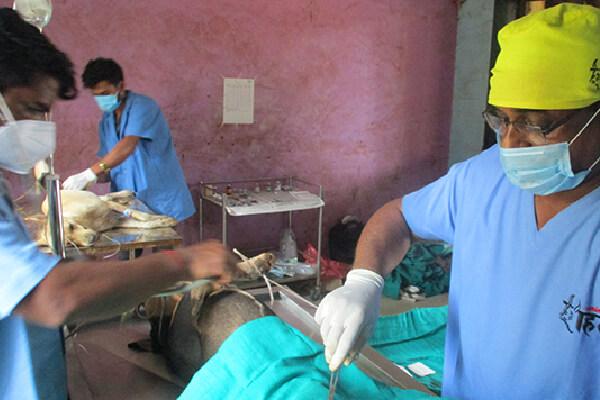 An Animal Rahat veterinarian sterilizes a dog in Raigad.