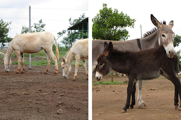 The image on the left is of Snow White and her mom, Rohini. The image on the right shows colt Kaliya and his mom, Maya.