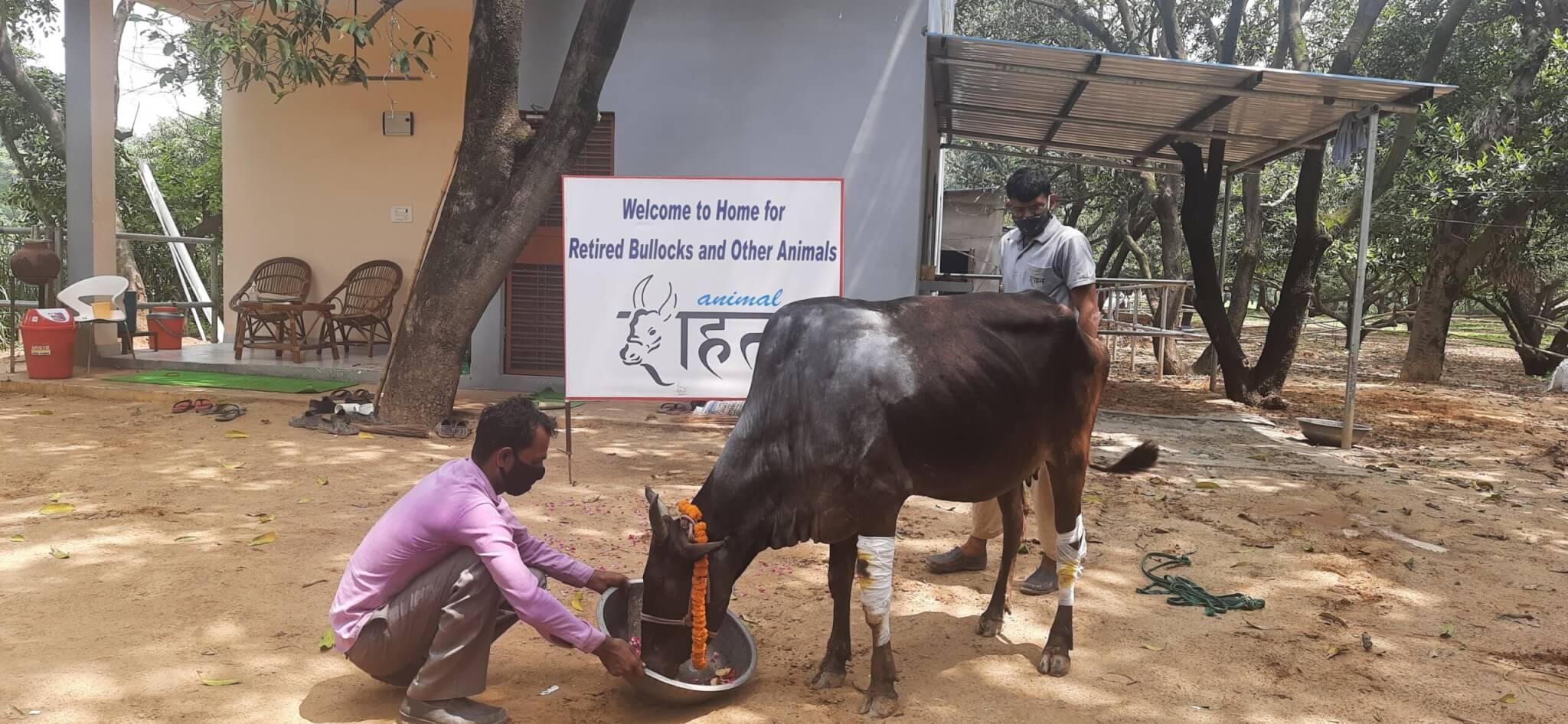 Staff welcome Ganga into Animal Rahat's happy family.