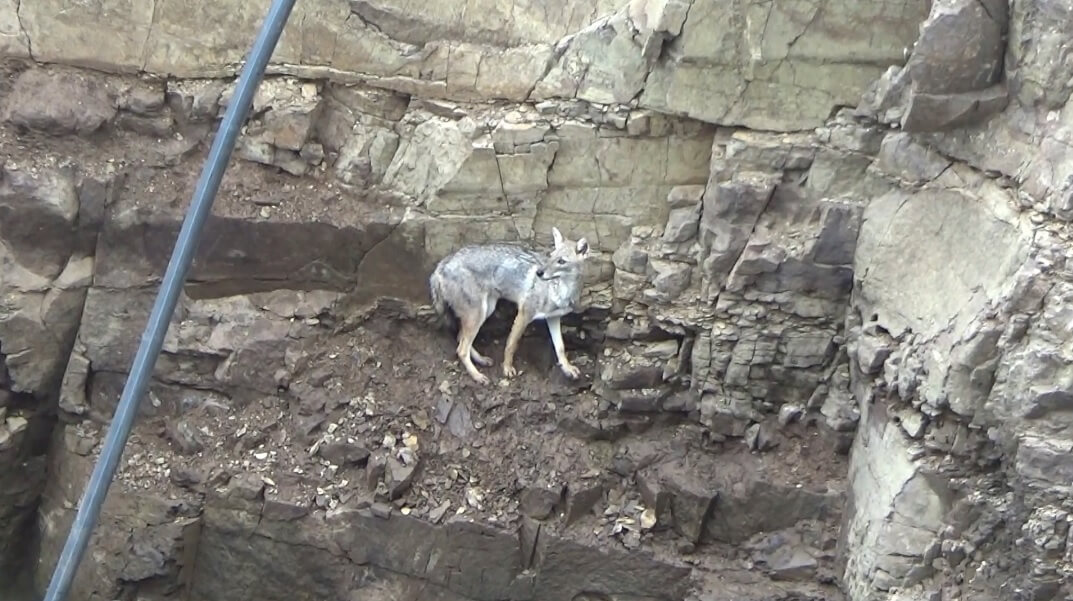 A jackal who fell into a deep well desperately tries to escape.