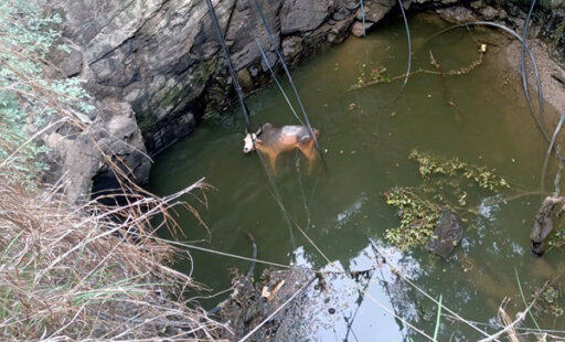 Rescuing a Nearly Drowned Bull From a Deep Well