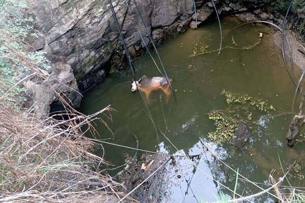A bull is trapped at the bottom of a deep well.