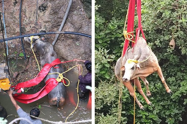 The image on the left shows the rescue team preparing to hoist the bull up, and the image on the right shows the bull being pulled from the well by a crane.