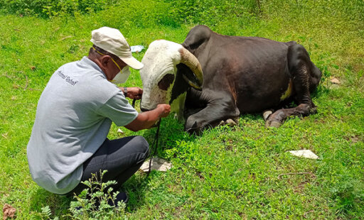 Bull Struggling to Walk Finds Relief