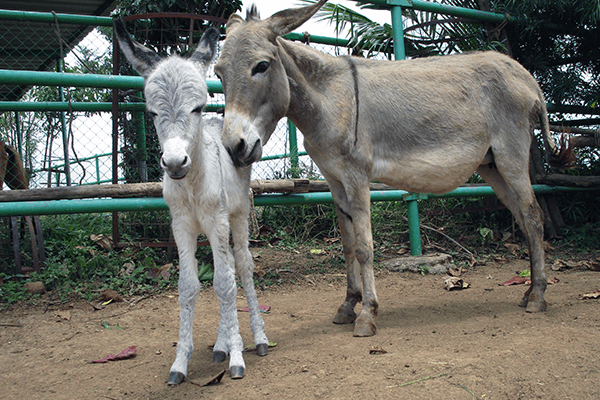 Seema is the newest donkey foal at Animal Rahat's sanctuary.